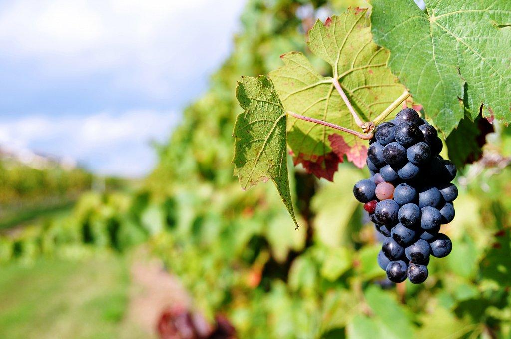 Beaujolais - Oct 2013 - La Vigne